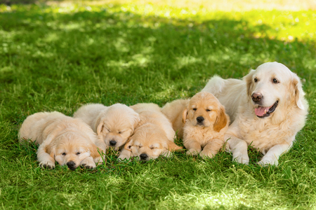 Photo pour Golden retriever family outdoors - image libre de droit