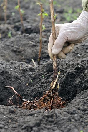 Photo pour farmer's hand planting a  raspberry seedling in the garden, vertical composition - image libre de droit