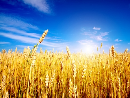 Foto de Golden wheat field with blue sky in background - Imagen libre de derechos