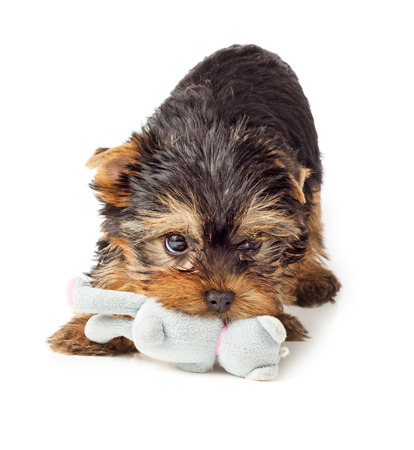 Photo pour Playful dog with chew toy. Yorkshire Terrier puppy playing with toy. - image libre de droit
