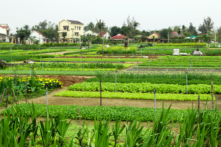 Photo for Green garden beds with vegetables, fruits and flowers on a farm with houses on a background. Hoi An, Vietnam. - Royalty Free Image