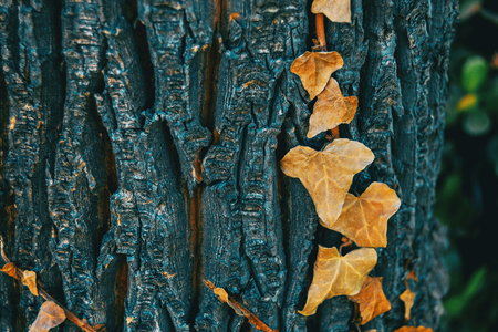 Foto de Close-up of some dried leaves of hedera helix on the bark of a tree in the wild - Imagen libre de derechos