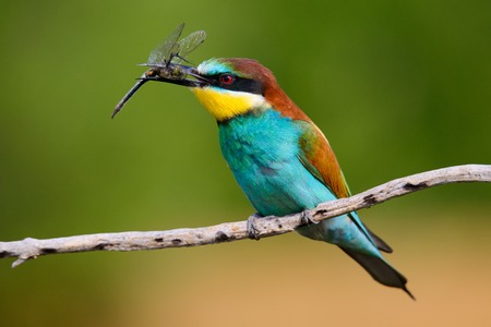 Foto für European bee-Eaters, Merops apiaster sits and brags on the good thread, has some insect in its beak during the mating season, the male feeds the female,a nice colorful background and a soft Golden light - Lizenzfreies Bild