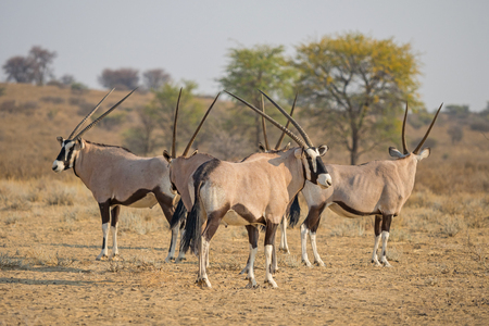 Photo pour A herd of gemsbok in the Kgalagadi Transfrontier Park, situated in the Kalahari Desert which straddles South Africa and Botswana. - image libre de droit