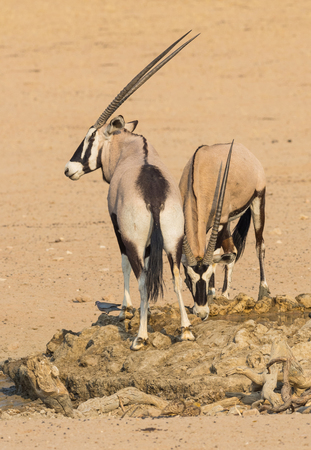 Photo pour A pair of gemsbok at a waterhole in the Kgalagadi Transfrontier Park, situated in the Kalahari Desert, which straddles South Africa and Botswana. - image libre de droit