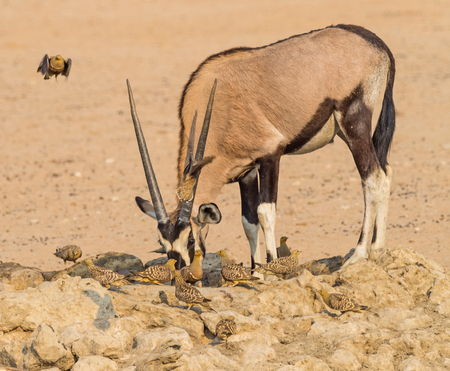 Photo pour A gemsbok drinking with Namaqua Sandgrouse in the Kgalagadi Transfrontier Park, which straddles South Africa and Botswana. - image libre de droit