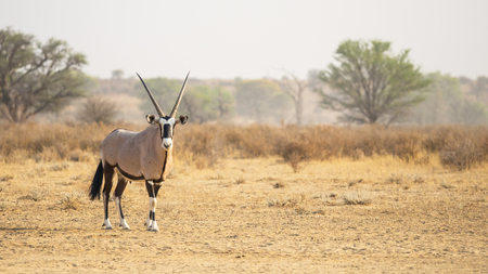 Photo pour A gemsbok in the Kgalagadi Transfrontier Park, situated in the Kalahari Desert which straddles South Africa and Botswana. - image libre de droit