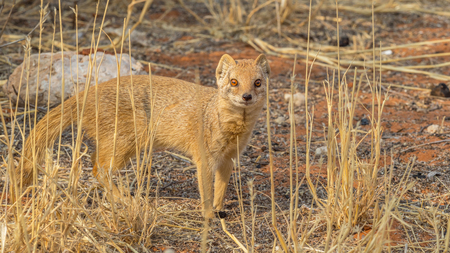 Photo pour A yellow mongoose in the Kgalagadi Transfrontier Park, situated in the Kalahari Desert which straddles South Africa and Botswana. - image libre de droit