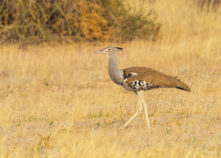 Photo pour A Kori Bustard, the largest flying bird in Africa,  in the Kgalagadi Transfrontier Park straddling South Africa and Botswana. - image libre de droit