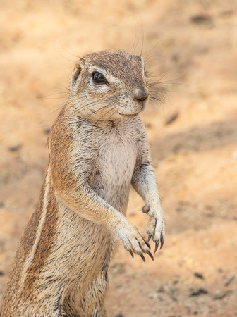 Photo pour Portrait of a Cape ground squirrel  in the Kgalagadi Transfrontier Park, situated in the Kalahari Desert which straddles South Africa and Botswana. - image libre de droit
