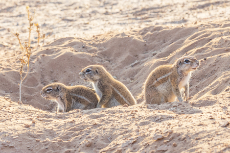Photo pour Cape ground squirrel  in a burrow in the Kgalagadi Transfrontier Park, situated in the Kalahari Desert which straddles South Africa and Botswana. - image libre de droit