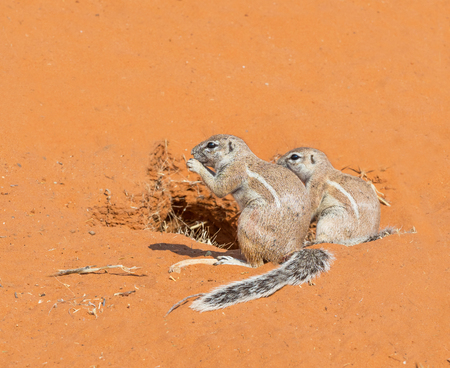 Photo pour A pair of Cape ground squirrel  in the Kgalagadi Transfrontier Park, situated in the Kalahari Desert which straddles South Africa and Botswana. - image libre de droit