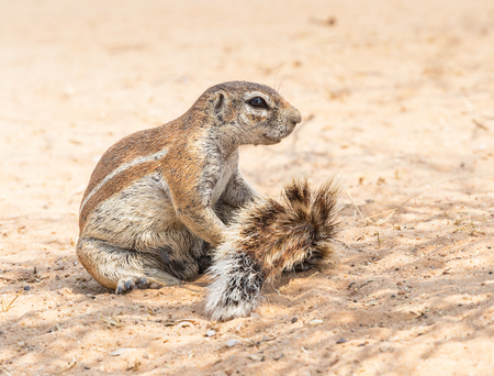 Photo pour A Cape ground squirrel  in the Kgalagadi Transfrontier Park, situated in the Kalahari Desert which straddles South Africa and Botswana. - image libre de droit