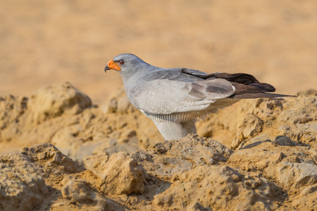 Photo pour A Pale Chanting Goshawk at a waterhole in the Kgalagadi Transfrontier Park straddling South Africa and Botswana. - image libre de droit