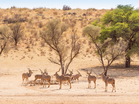 Photo pour A bachelor herd of kudu and a gemsbok at a waterhole in the Kgalagadi Transfrontier Park, situated in the Kalahari Desert which straddles South Africa and Botswana. - image libre de droit