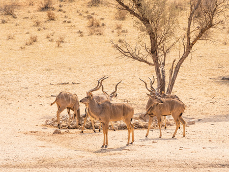 Photo pour A bachelor herd of kudu at a waterhole in the Kgalagadi Transfrontier Park, situated in the Kalahari Desert which straddles South Africa and Botswana. - image libre de droit