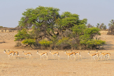 Photo pour A herd of female springbok in the Auob River valley in the Kgalagadi Transfrontier Park straddling South Africa and Botswana. - image libre de droit