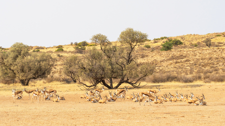 Photo pour A springbok herd resting in the Auob River valley in the Kgalagadi Transfrontier Park straddling South Africa and Botswana. - image libre de droit