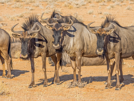 Photo pour Alert Common or Blue Wildebeest in the arid Kgalagadi Transfrontier Park straddling South Africa and Botswana. - image libre de droit