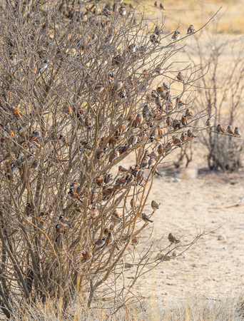 Photo pour A mass of Cape Sparrows perched in tree in the arid Kgalagadi Transfrontier Park straddling South Africa and Botswana. - image libre de droit