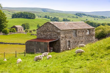 Photo pour Sheep grazing outside a traditional farm barn in the Yorkshire Dales in England. - image libre de droit