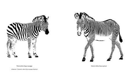 Illustration for Two Different Zebra Species - Royalty Free Image