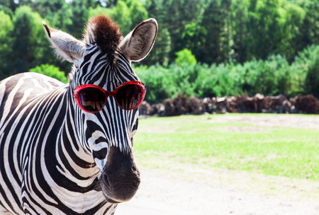 Photo pour Funny zebra with sunglasses - image libre de droit