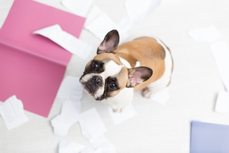Photo pour A domestic pet has taken on a home. Torn documents on white floor. Pet care abstract photo. Small guilty dog with funny face - image libre de droit