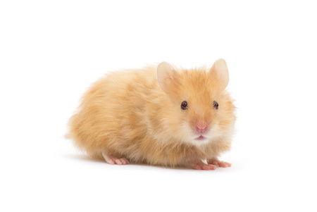 Photo for Hamster isolated on white - Royalty Free Image