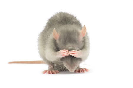 Photo for rat isolated on the white background - Royalty Free Image