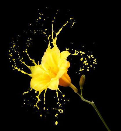 Foto de bright flower with yellow splashes on black background - Imagen libre de derechos