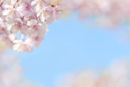 Spring Flower Sakura closeup