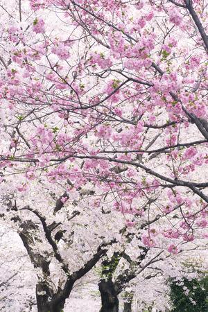 Kamurozaka cherry tree roadside trees