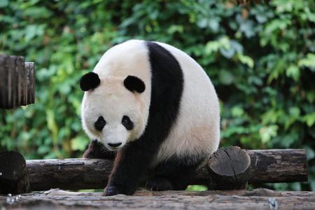 Photo for panda - Royalty Free Image