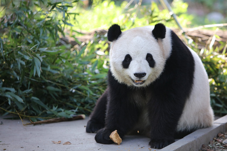 Photo for A panda in Beijing Zoo - Royalty Free Image