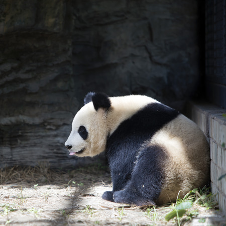 Photo for A giant panda in the zoo - Royalty Free Image