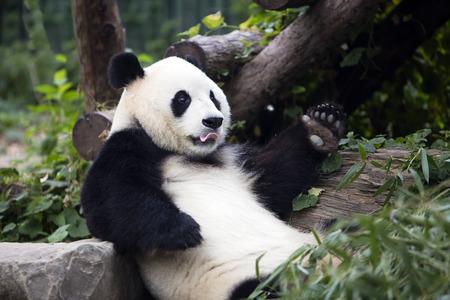 Photo pour a giant panda in the Beijing Zoo - image libre de droit