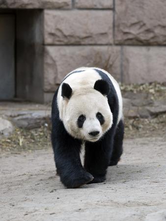 Photo pour a giant panda in the zoo - image libre de droit