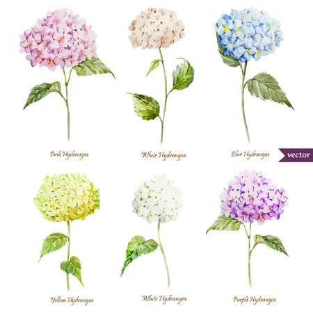 Illustration pour Beautiful watercolor vector hydrangea set different colors - image libre de droit