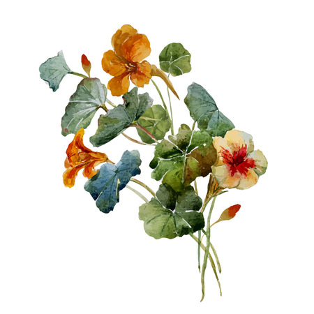 Illustration for Beautiful vector illustration with nice watercolor nasturtium - Royalty Free Image