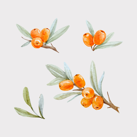 Illustration for Beautiful watercolor vector illustration of sea buckthorn berries with leaves on transparent background - Royalty Free Image