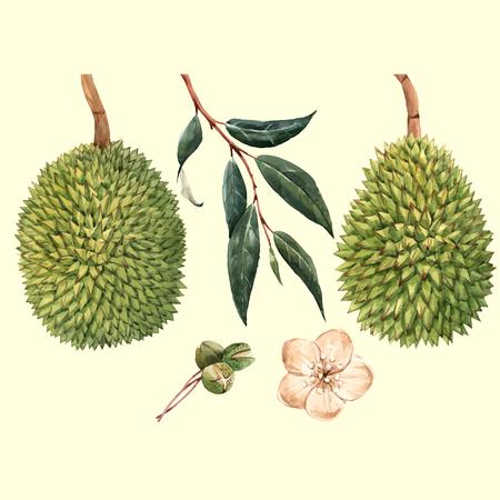 Ilustración de Beautiful vector illustration with watercolor tropical fruits durian and flowers - Imagen libre de derechos