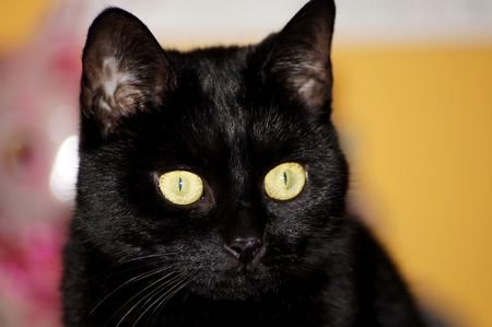 Photo pour Portrait of a beautiful black cat - image libre de droit