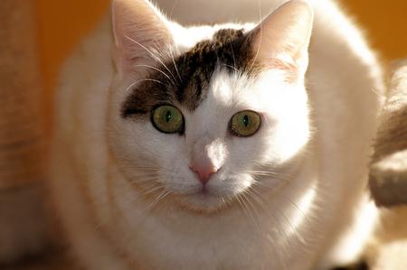 Photo pour Portrait of a beautiful white cat - image libre de droit