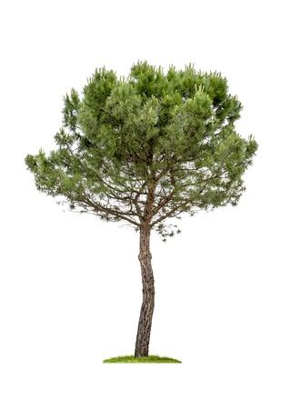 Foto de isolated pine tree on a white background - Imagen libre de derechos