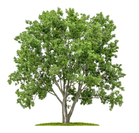 Photo for isolated lime tree on a white background - Royalty Free Image
