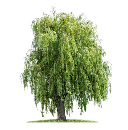 Foto de isolated weeping willow on a white background - Imagen libre de derechos