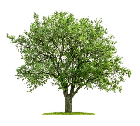 Photo for isolated deciduous tree on a white background - Royalty Free Image