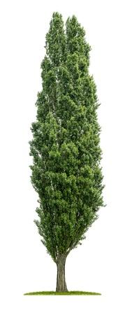 Foto de isolated poplar tree on a white background - Imagen libre de derechos