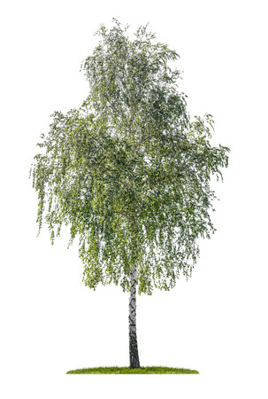 Foto de isolated silver birch on a white background - Imagen libre de derechos